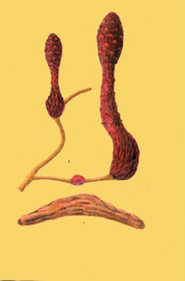 肾阴虚患者可以吃锁阳吗?