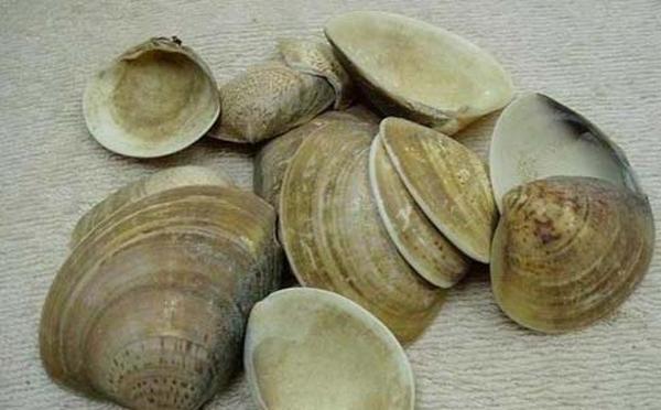 蛤壳的功效与作用