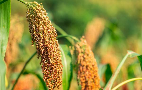 高粱米的营养价值