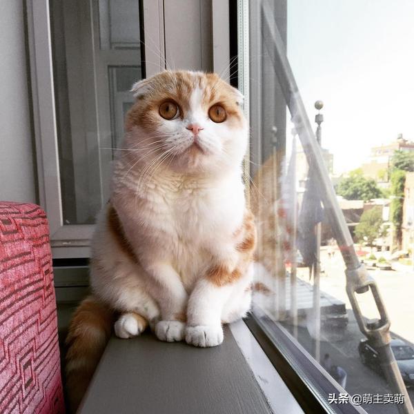 犯困的苏格兰折耳猫卖萌:床底下有猫腻