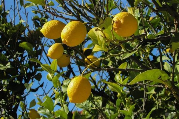 蜜糖浸柠檬做法有哪些