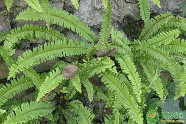 毛叶肾蕨的功效与作用