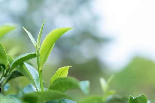 常喝茶叶有什么好处呢