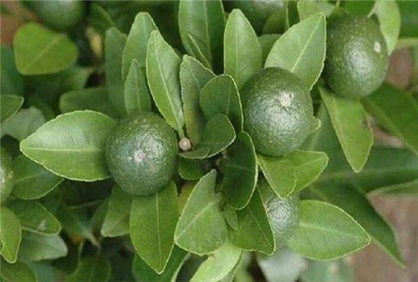 橘皮枳壳汤的功效与作用