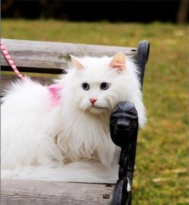 山东狮子猫鸳鸯眼图片