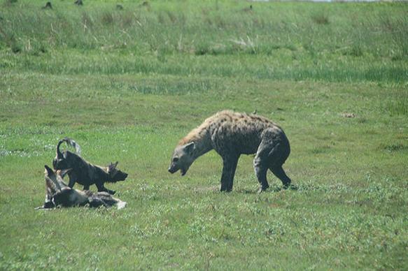 非洲二哥鬣狗护肛功力不足,摄影师意外抓拍鬣狗惨遭野狗掏肛羞辱