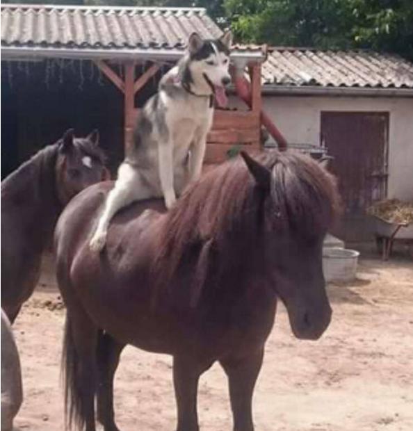 哈士奇旺财骑马,最后的眼神绝了,网友:想必内心是崩... _腾讯网