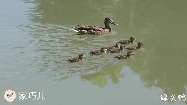 梦见一群鸭子,梦见一群鸭子是什么意思,周公解... _本命佛算命网