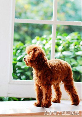养贵宾犬需要准备什么和家庭饲养贵宾的一些经验 _狗铺子