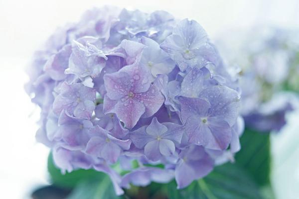 臭绣球花的养殖方法