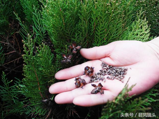 农村到处都有柏树,可你知道它的养生妙用吗?