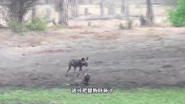 鬣狗掏肛狮子