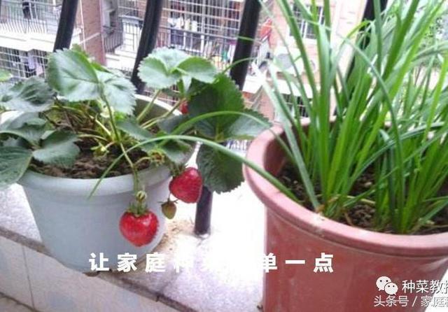家庭种菜:草莓 的详细种植步骤及注意事项!