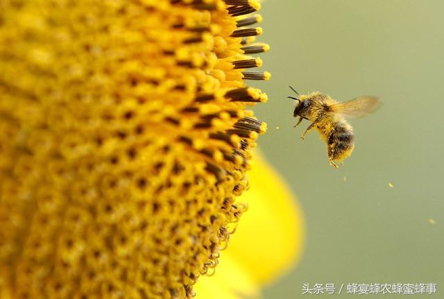 花粉和蜂蜜的功效作用?_39健康网问医生wap版