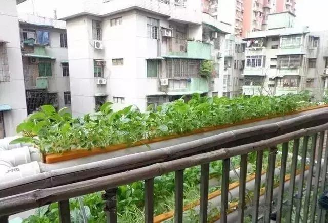 阳台这样种菜,只需一根PVC管,让全家人都吃不完!_手机网易网