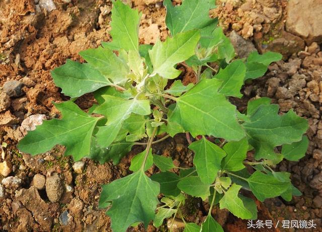 灰菜的功效与作用、禁忌和食用方法_有来医生