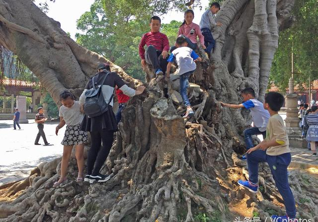 """800岁大榕树被游客肆意攀爬,""""一级保护""""形同虚设"""