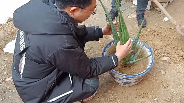 芦荟什么时候可以移栽_植物之家