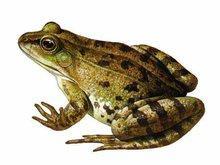 蟾蜍与青蛙有什么区别?