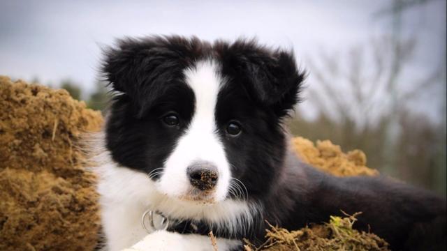 边境牧羊犬幼崽图片