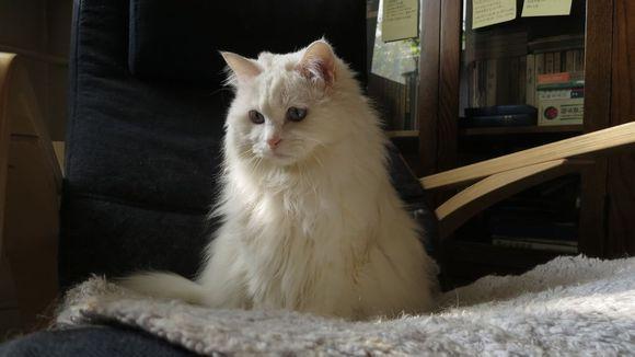 山东狮子猫幼猫