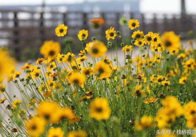 植物杀手大花金鸡菊能固土护坡,但它争夺水分所生之处存草不生