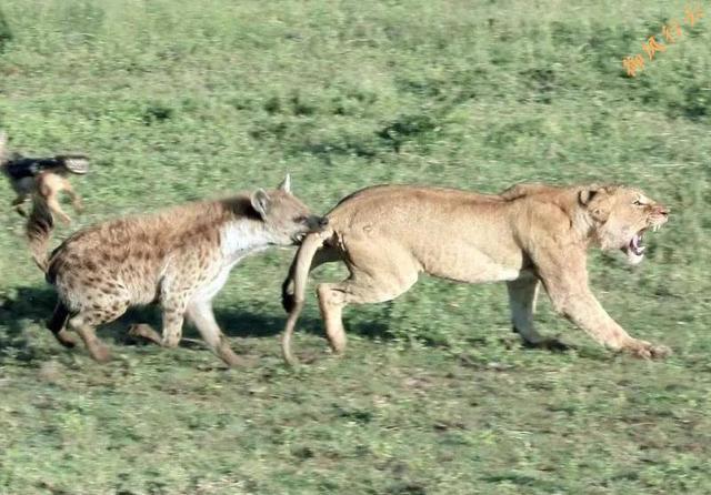 非洲二哥凭什么?斑鬣狗远不止是靠掏肛!
