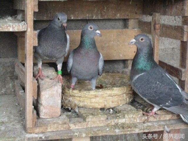 养鸽子笼子设计图片