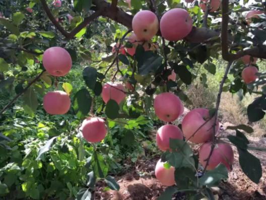 山東煙臺蘋果