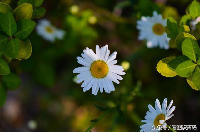 李村河畔的大滨菊 金鸡菊,花开正艳