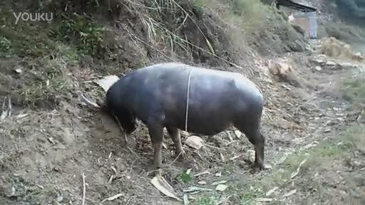 孕妇梦到大水牛