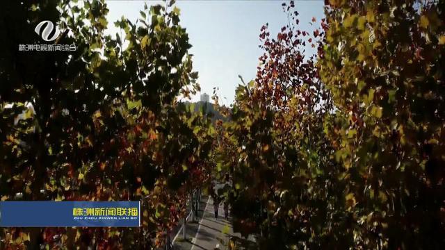 湖南三角枫大树