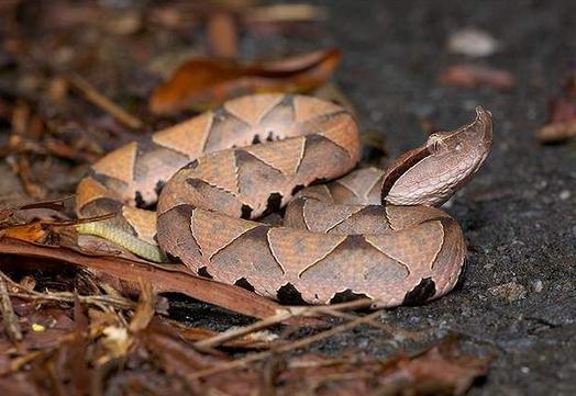 彩六ash黑百步蛇