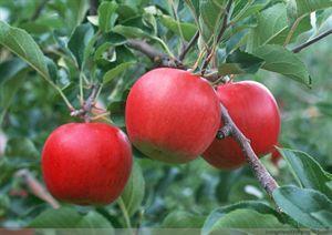 50种水果常识大全(1-10)