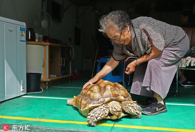 老爷爷遛宠物,而跟在一旁的竟然是一只硕大的乌龟,引起众人围观
