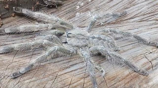世界上最大的巨型蜘蛛