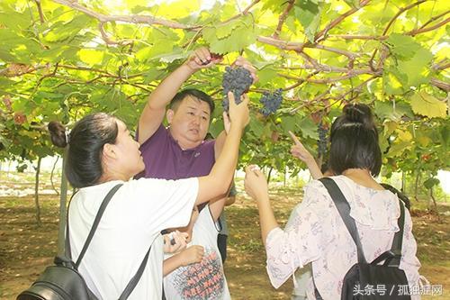 郑州|黄河大堤数百亩葡萄成熟 众多市民前来观光采摘