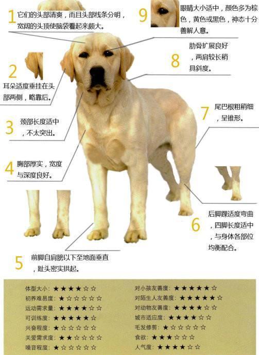 拉布拉多犬有2大系别,很多人都以为自己的狗是串串,这下放心了