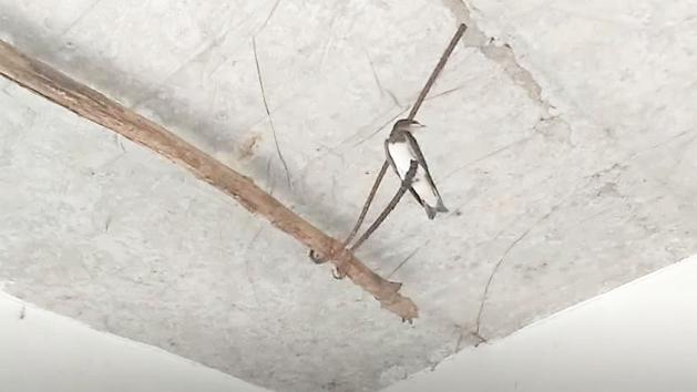 实拍顺德天花顶上的老鼠食蚊子