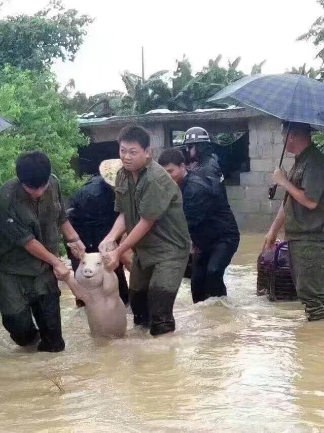 洪水救猪表情包附原图
