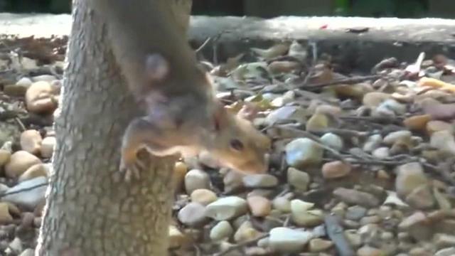 小松鼠背上长满了超大的寄生虫! 这看上去得有多疼啊!