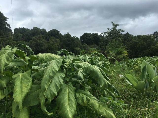 原来最好的烟叶是这么种出来的,亲身探访中国顶级烟叶产地