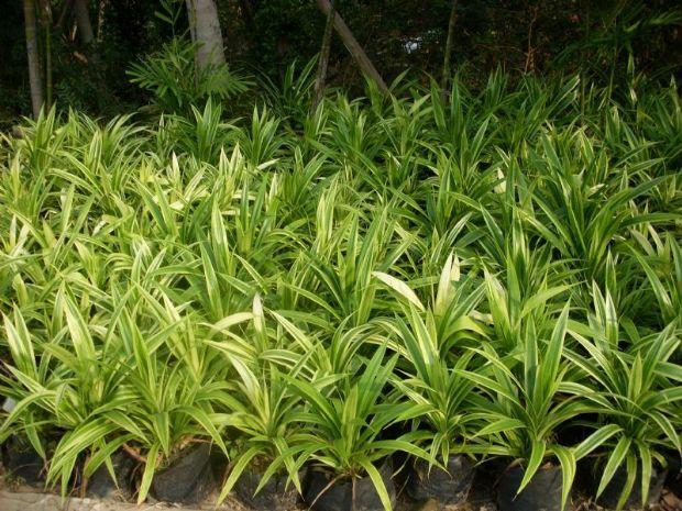 植物百科: 花叶艳山姜
