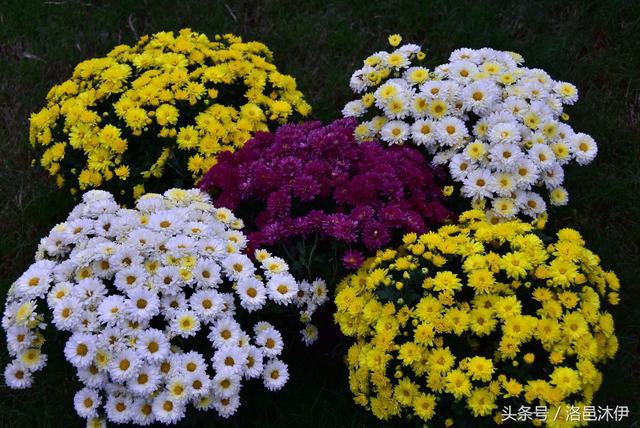洛阳王城公园菊展:花开的时候你就来看我!