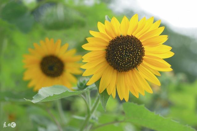 向日葵鲜花开的正艳,满满的阳光和正能量_手机搜狐网