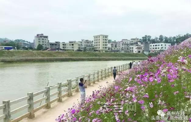 高州南塘镇彭村荷花竞相绽放 吸引众多游人观赏