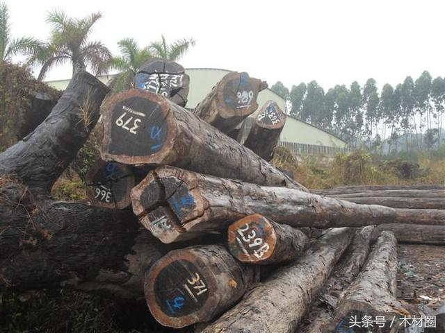 俄羅斯落葉松原木價格