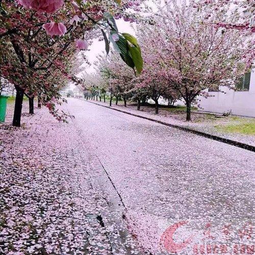 重慶哪里有櫻花