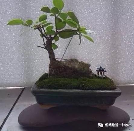人参榕树盆景图片