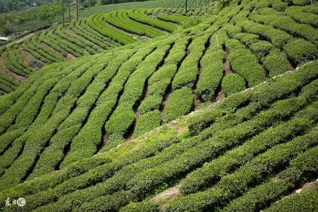 茶树起源于,在地球上生长已有几十万年的时间